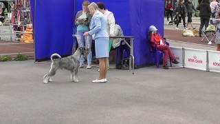 породы собак, Шнауцер, видео с выставки собак в Великом Новгороде