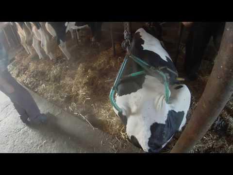 Podnoszenie Krowy Specjalnym Wyciągiem ! Agro Mąkolice