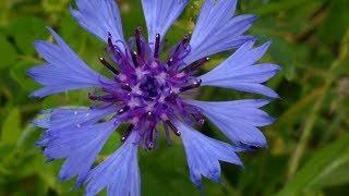 Fiordaliso selvatico,fiordaliso nerastro,della famiglia asteraceae,pianta erbacea dal fusto eretto ,fiore blu ma ne esistono in vari colori e specie,curativ...