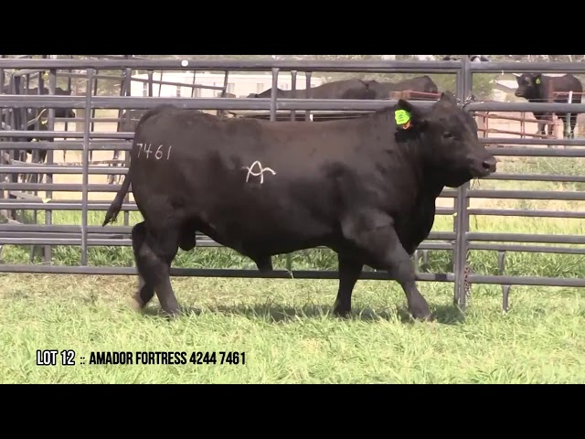 Mid Valley Bull Sale Lot 12
