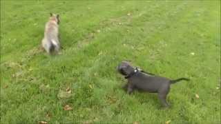 Puppy Thor Vs Morag Play Fighting - Staffordshire Bull Terrier
