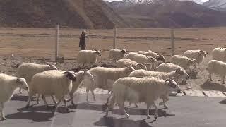 tibet2016 取材 興海~アニマチェン~タール寺
