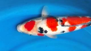 JK - Gonjiro Sanke 15months old , female , size 44cm