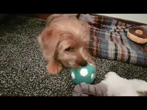 Rusty the Norfolk Terrier & his Squeaky Ball
