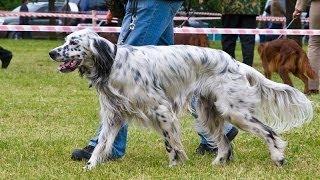 Межрегиональная 116-я Московская выставка собак охотничьих пород младший ринг кобелей