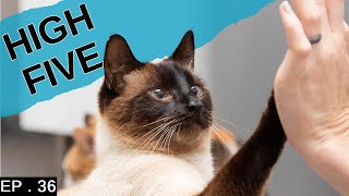 Teaching our Siamese Cat high five (and other tricks)