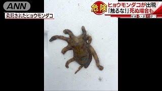 接触に注意!海開き間近・・・付近に猛毒ヒョウモンダコ(17/05/15) thumbnail