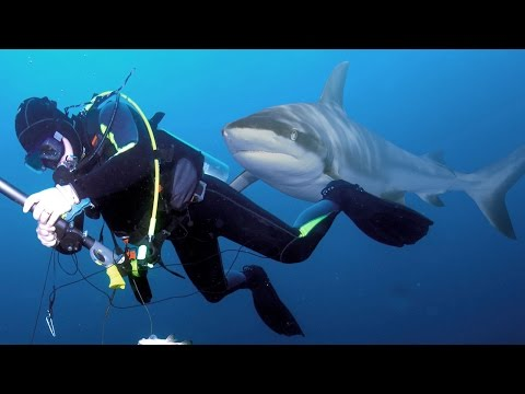 Shark Charges Diver while Spearfishing