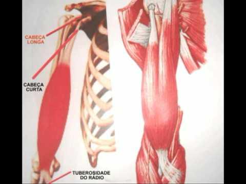 Anatomia do bíceps braquial - YouTube