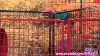 Australia's Got Talent 2011 - Noah's Thoroughbred Racing Pigs