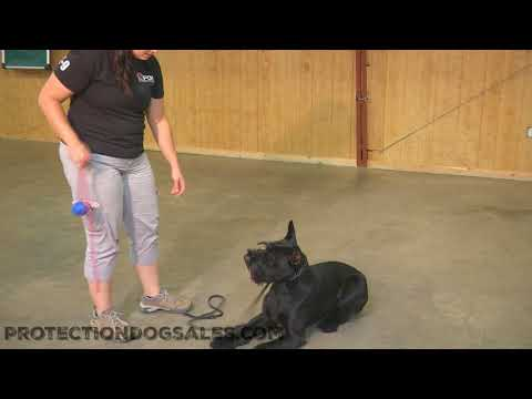 Obedience Trained Home Raised Giant Schnauzer For Sale 'Kosmo' 14 Mo's