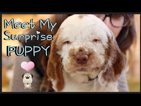 Meet My Surprise Clumber Spaniel Puppy | *Cute* | Potterhead Princess