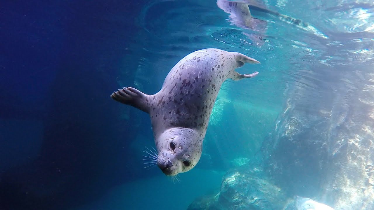 Great White Shark Wallpaper Cute Harbor Seals Swim In Slow Motion Youtube