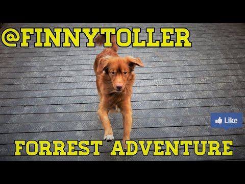 Nova Scotia Duck Toller -  Forrest Adventure