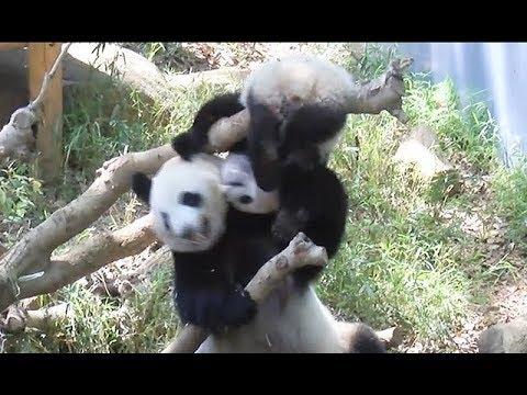 ジャイアントパンダのシャンシャン(301日齢)親子でじゃれっこ