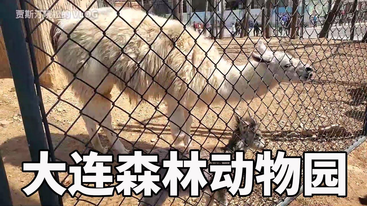 情侶游大連動物園|這只羊為什麼啃鐵絲網呢,忽然間搞明白了|西藏野驢