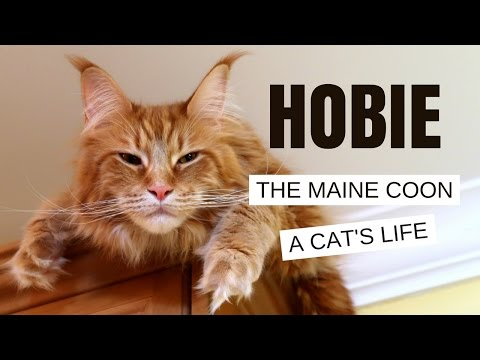 Maine Coon - A Cat's Life