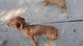 Встреча двух щенков таксы Мальчика и девочки(, 2016-11-19T10:00:04.000Z)