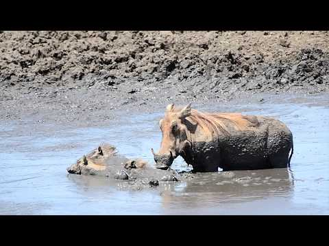 Warthog Mother Teaches Youngsters A Life Lesson In Survival.