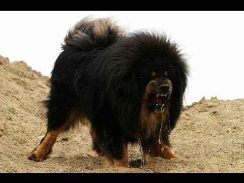 Police shoot dead giant Tibetan mastiff that attacked workers Cops cruel or Dog dangerous?