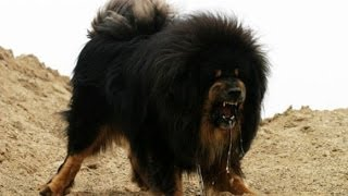 Police shoot dead giant Tibetan mastiff that attacked workers Cops cruel or Dog dangerous?
