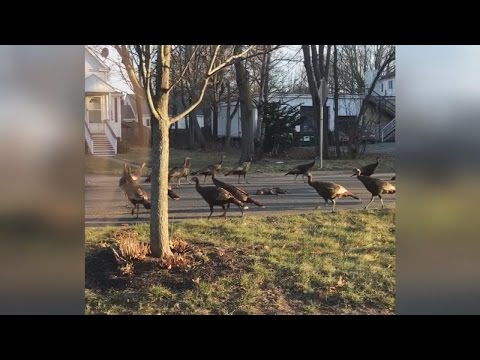 Why These Turkeys Circling A Dead Cat...