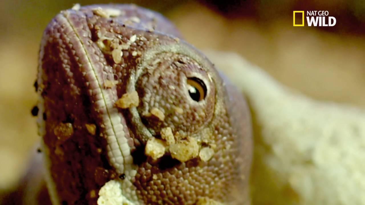 Les bébés caméléons