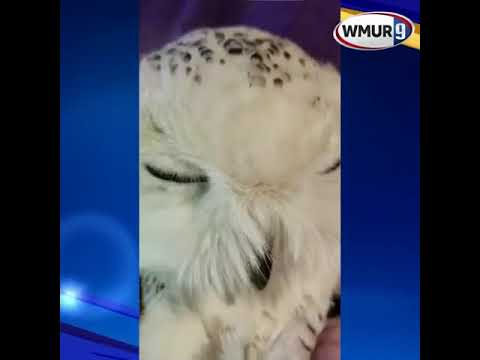 Snowy owl recovering in Epping
