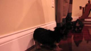 AKC TOY YORKIE PUPPIES | Mimi-Emma-Precious-Lady-Bruiser