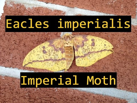 Eacles imperialis IMPERIAL MOTH Dissection