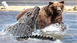 Riesiger Alligator vs Grizzlybär - Wer Würde Einen Kampf Gewinnen?
