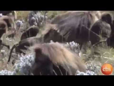 Discover Ethiopia , Guassa a habitat of  wild animals & center of zoological studies