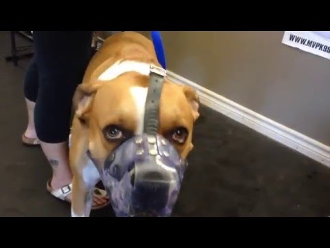 Attention Training A Fear Aggressive Dog With E Collar and Food
