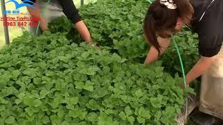 Lao động Nhật Bản - trồng rau trong nhà kính