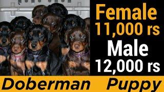Doberman Dog Puppy For Sale || Pure Doberman || Dog Farming in india
