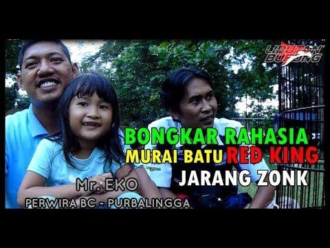 BONGKAR RAHASIA MURAI BATU RED KING YANG JARANG KONDANGAN