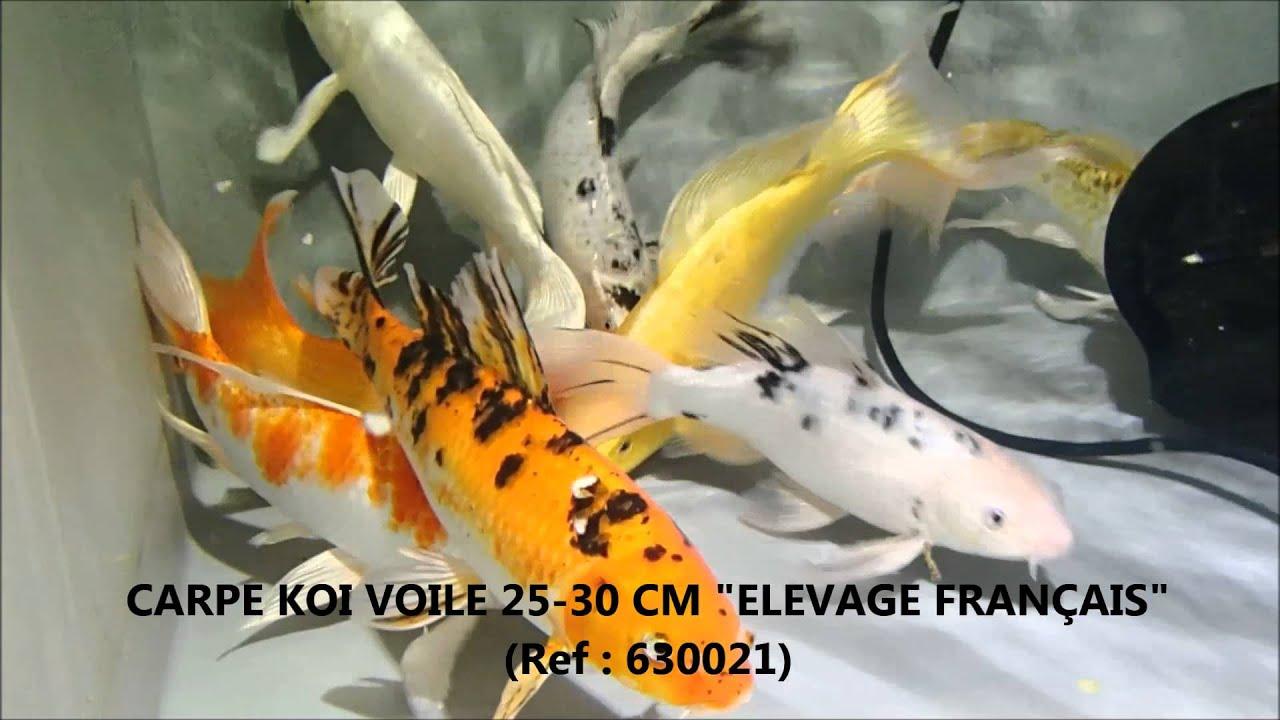 Carpes ko et poissons de bassin saison 2015 youtube - Comptoir poisson exotique ...