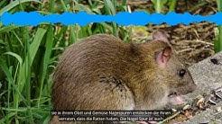 Ratten im Garten erkennen und bekämpfen | die besten 3 Tipps