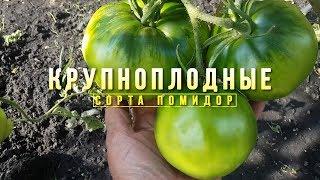 Крупноплодные сорта помидор! Обзор в открытом грунте.