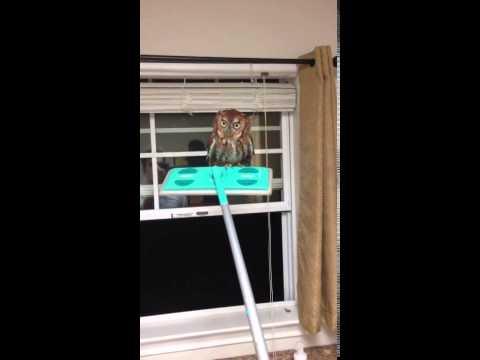 An owl gets inside the house