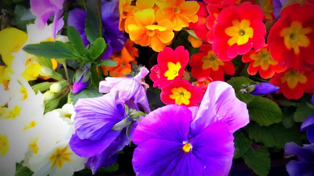 British Spring Blossoms   Clusters Of Colourful Scented Garden Flowers  #spring #flowers #gardening