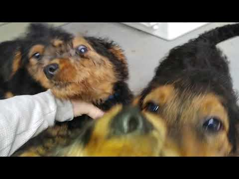 Back Porch AKC Purebred 8 Weeks Old Airedale Terrier Puppy Puppies For Sale On November 14, 2018