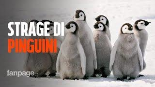Gambar cover Migliaia di giovani pinguini imperatore sono morti, strage in Antartide