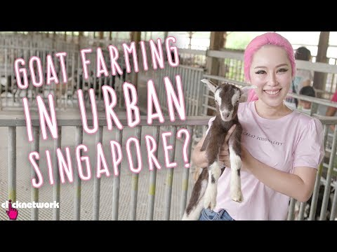 Goat Farming in Urban Singapore? - Xiaxue's Guide To Life: EP207