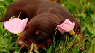 Red And Rust Doberman Pinscher Puppy At 7 Days Old