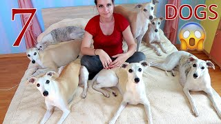 Life with 7 dogs  What my Whippets do in a day