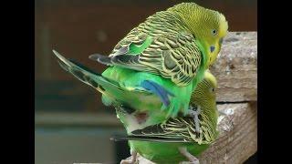 Прикол СЕКС ПОПУГАЯ с палочкой (смотреть до конца) sex parrot