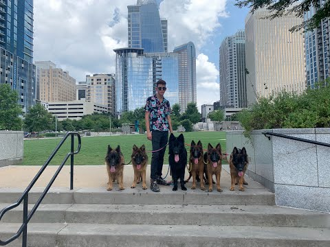 I took 6 German Shepherds in the city and look what happened.