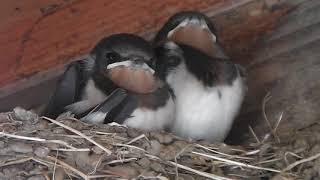 もしかして姉妹かも?巣の中で餌待ちの燕のひな 一羽、後ろ向きで動かな...