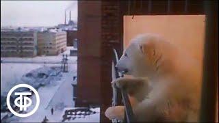 Белая медведица Юрия Ледина (1975)